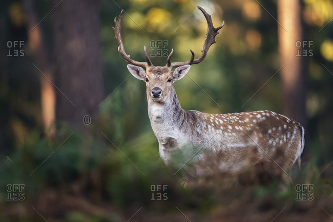 Male fallow deer in the woods