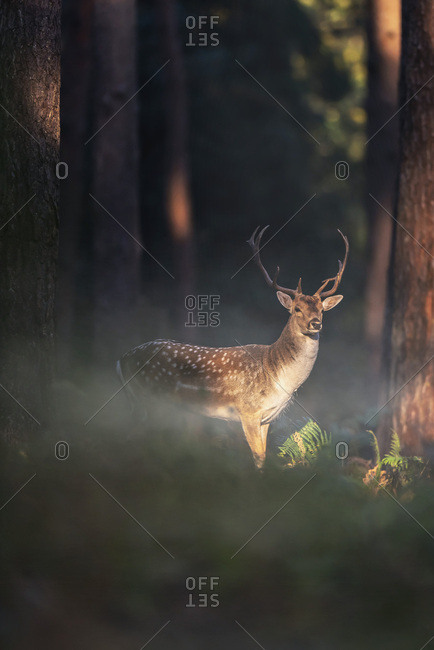 A male fallow deer in the woods