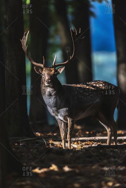 Large male fallow deer in shadowy woods