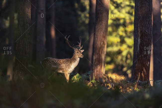 Male fallow deer in the woods at dusk