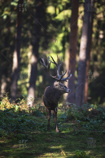 Large male deer in the woods