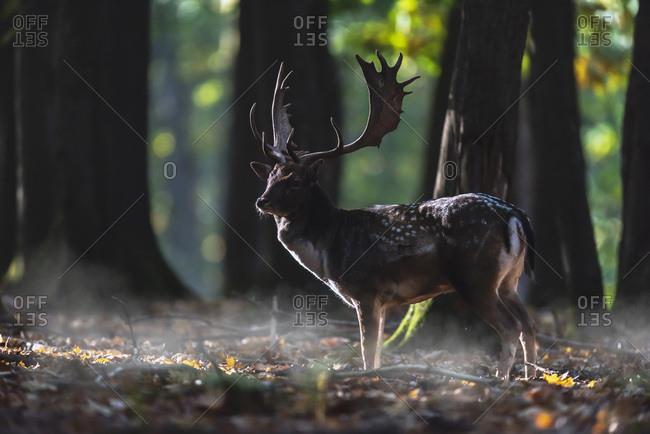 Male fallow deer in shadowy woods
