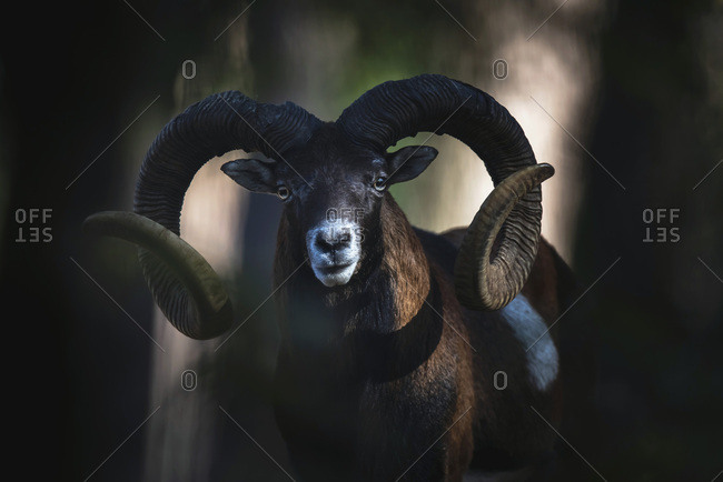 Male Mouflon from the Offset Collection