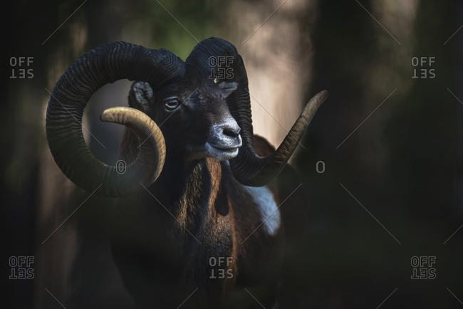 Male Mouflon looking away