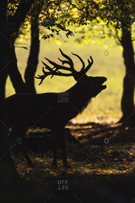 Silhouette of a deer in the woods