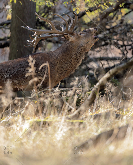 Deer howling in the woods