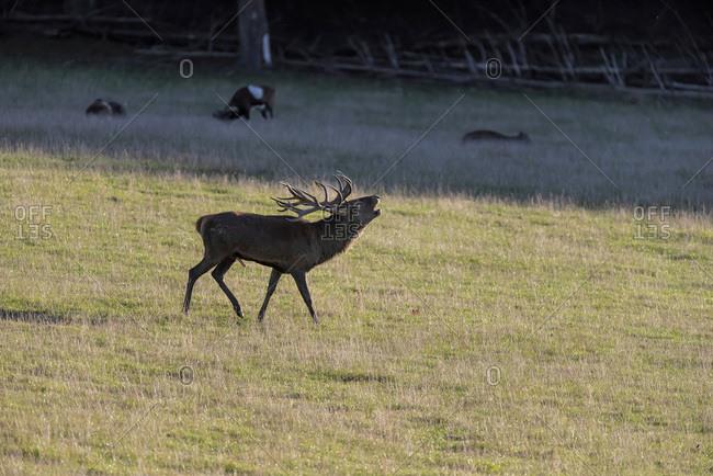 Deer howling in a field