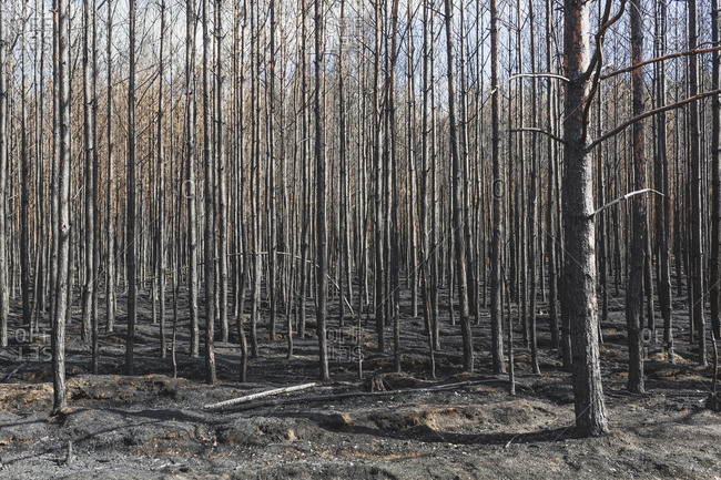 Germany- Brandenburg- Treuenbrietzen- Forest after forest fire