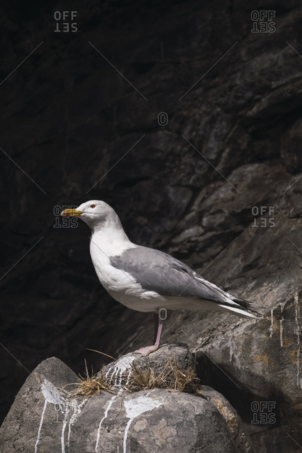 Norway- Lapland- Seagull resting on a rock