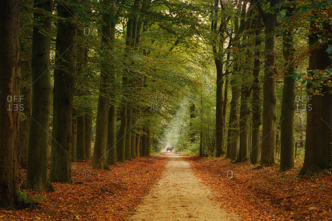 Germany- forest track and deer in autumn