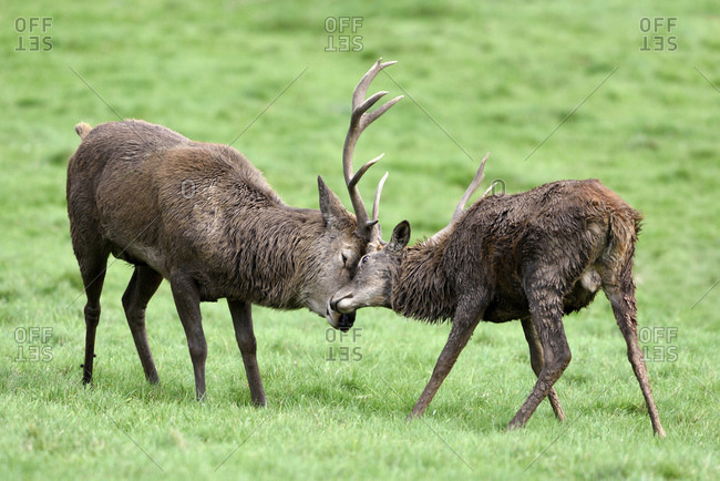 England- two red deer fighting- Cervus elaphus