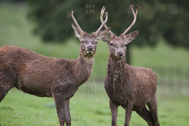England- Red deer- Cervus elaphus