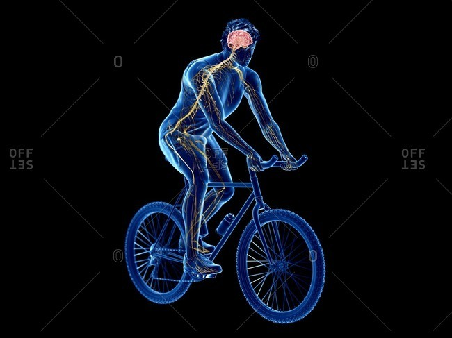 3d rendered illustration of a cyclist's brain.