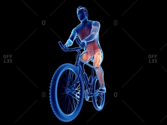 3d rendered illustration of a cyclist's muscles.