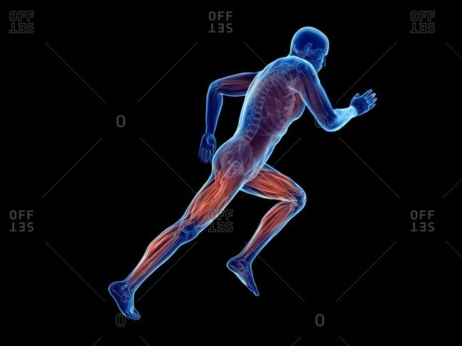 3d rendered illustration of a jogger's muscles.