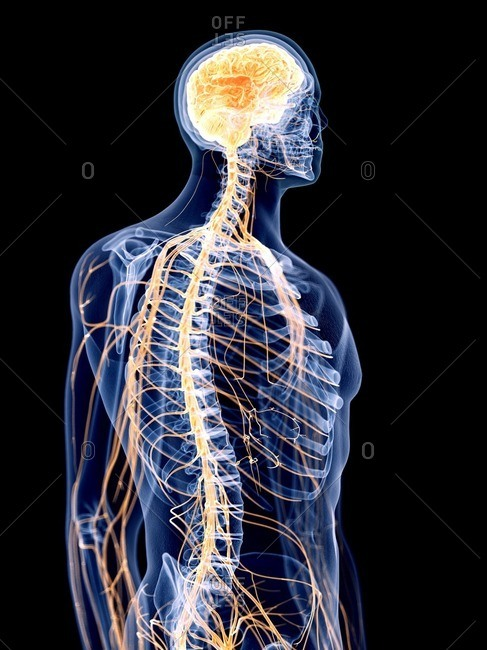 3d rendered illustration of the human nervous system.