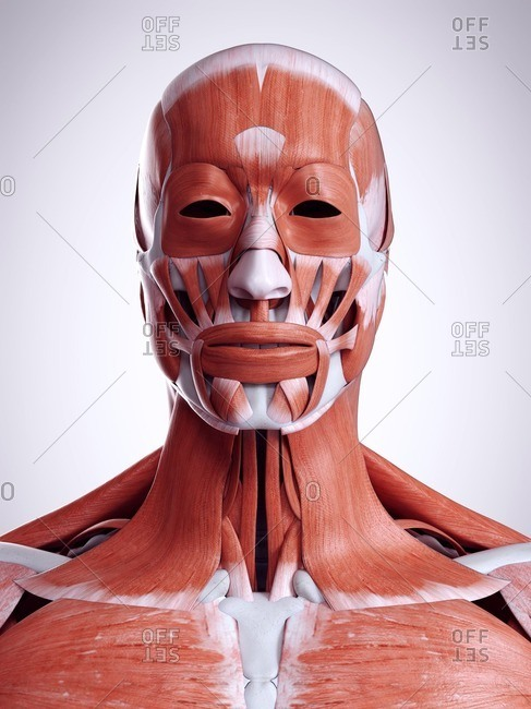 3d rendered illustration of the head and neck muscles.