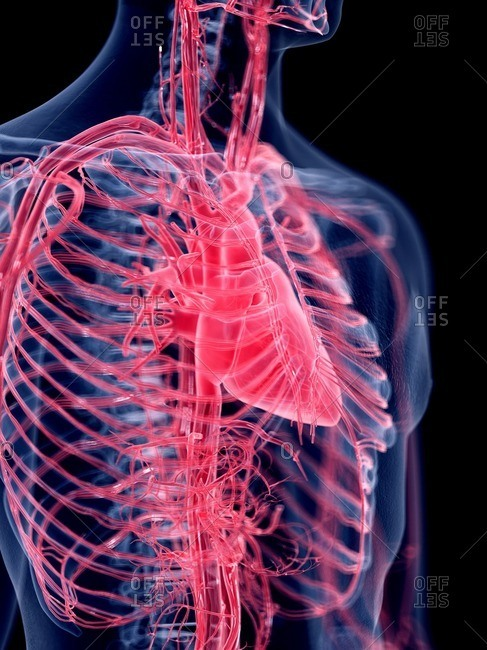 3d rendered illustration of the human heart.