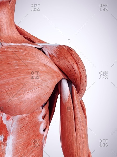3d rendered illustration of the shoulder muscles.