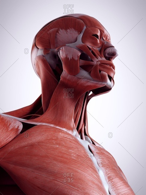 3d rendered illustration of the neck muscles.