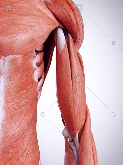 3d rendered illustration of the upper arm muscles.