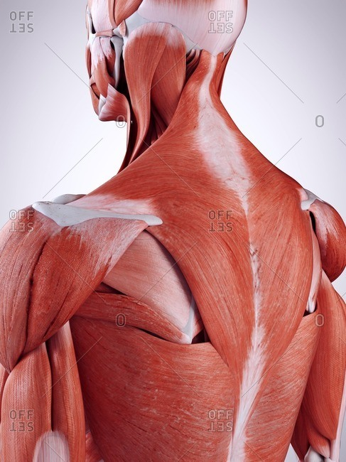 3d rendered illustration of the upper back muscles.