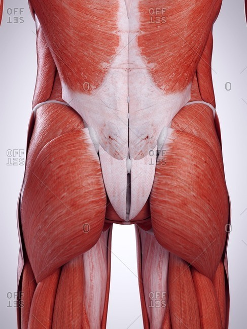 3d rendered illustration of the bottom muscles.