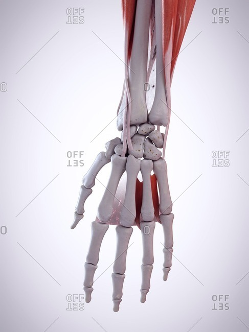 3d rendered illustration of the hand anatomy.