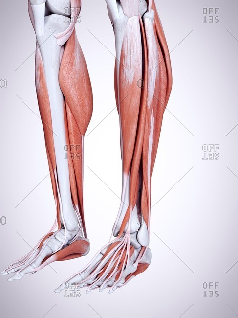 3d rendered illustration of the lower leg muscles.