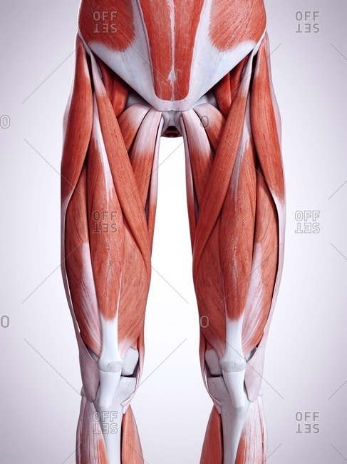 3d rendered illustration of the leg muscles.