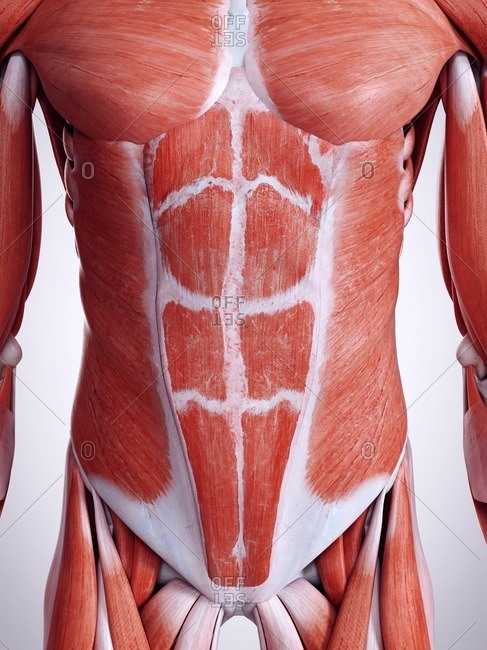 3d rendered illustration of the abdominal muscles.