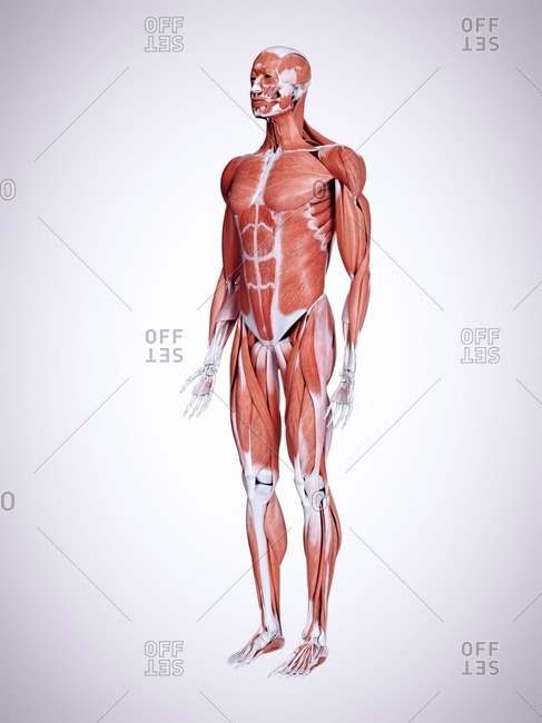 3d rendered illustration of male muscles.