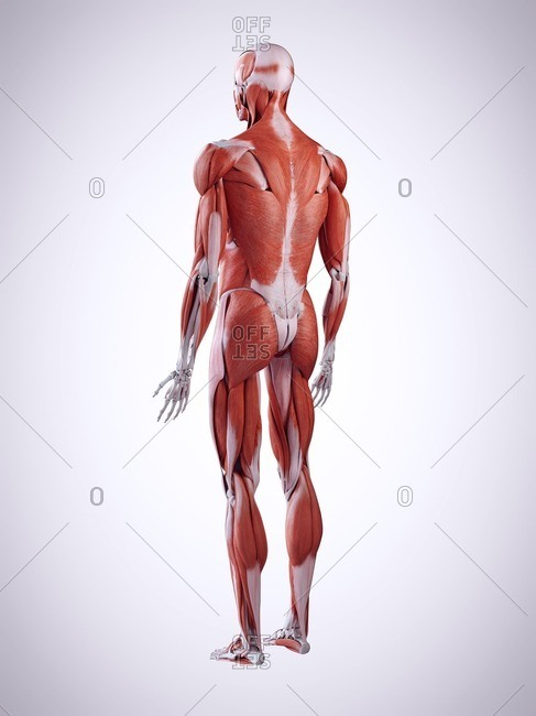 3d rendered illustration of the back muscles.