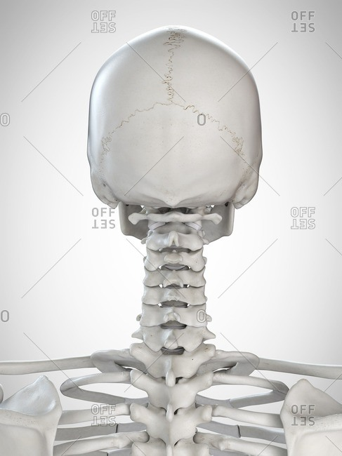 3d rendered illustration of the head and neck.