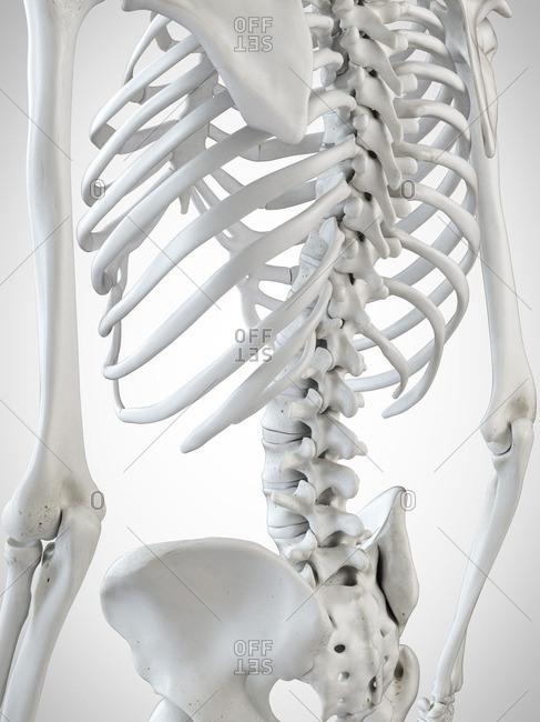 3d rendered illustration of the skeletal back.