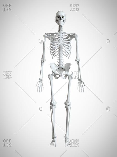 3d rendered illustration of a human skeleton.