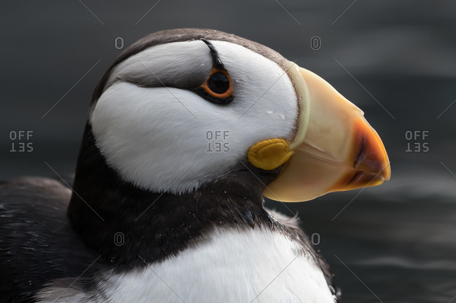 Profile view of an atlantic puffin