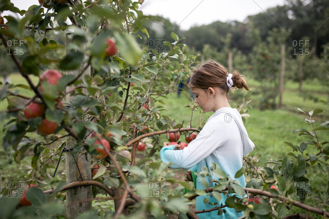 Side view of girl harvesting apples from fruit tree at farm