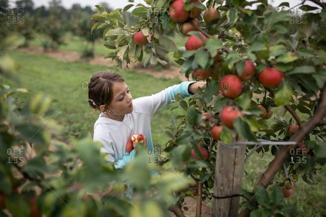Girl harvesting apples from fruit tree at farm