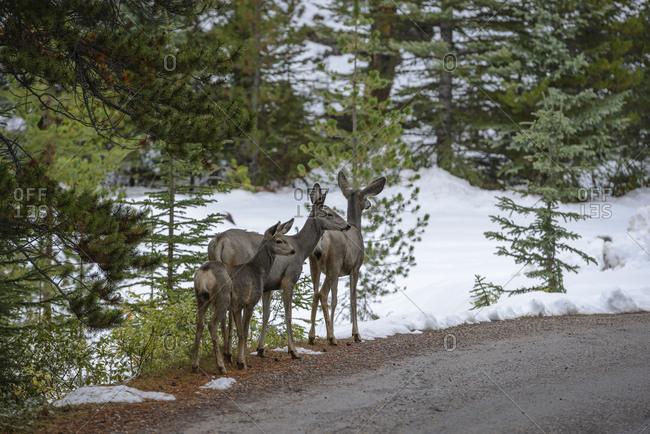 young animal, Jasper National Park,  cute, deer, wild animal, funny, animals