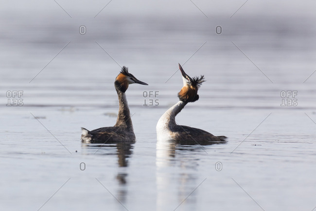 Great Crested Grebe, Podiceps cristatus, couple courting
