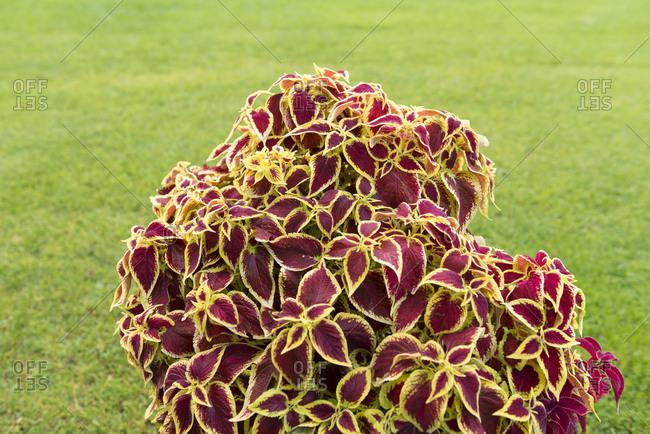 Loasaceae, Coleus Blumei hybrid, ornamental plant