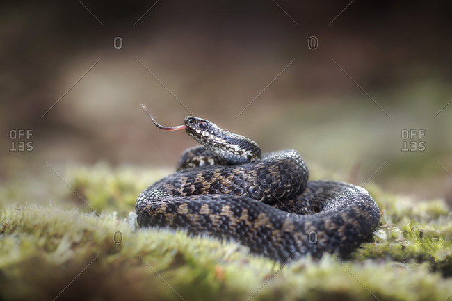 Adder on grass with forked tongue snake like