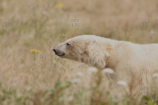 Polar bear in summer field