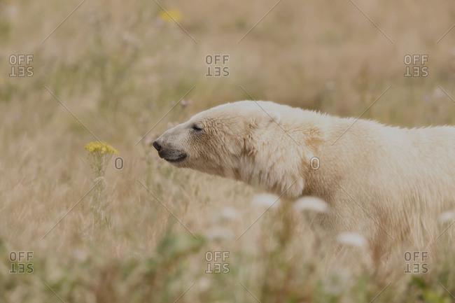 Polar bear in summer field