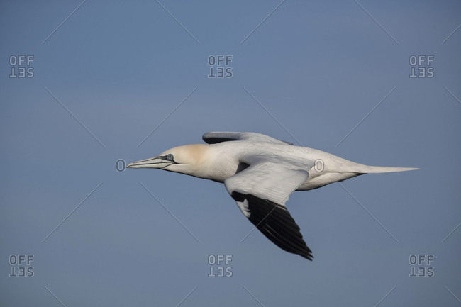 Gannet sea bird gull in flight