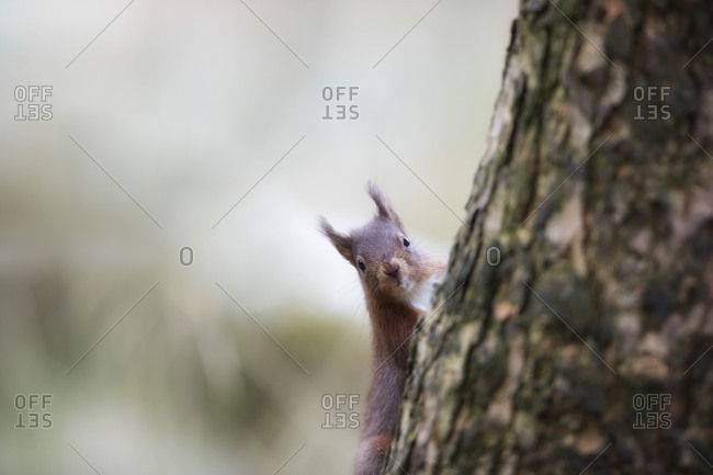 Red squirrel in woods