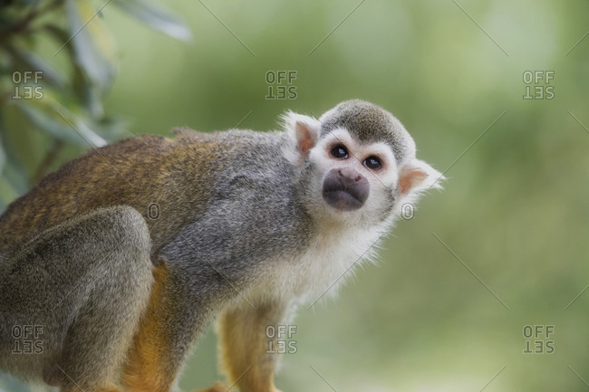 Spider monkey looking and gazing up cute
