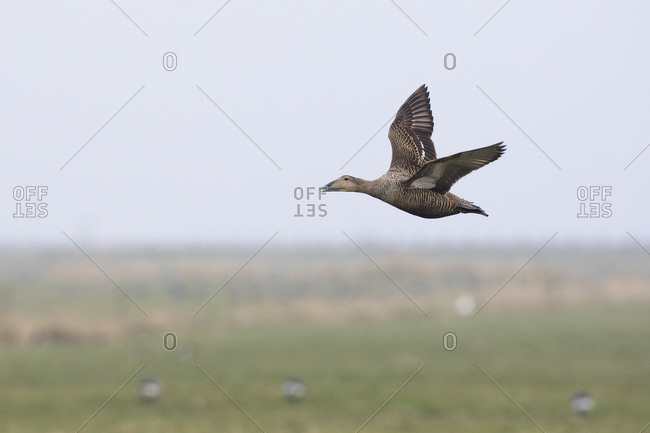 Eider, Somateria mollissima in flight