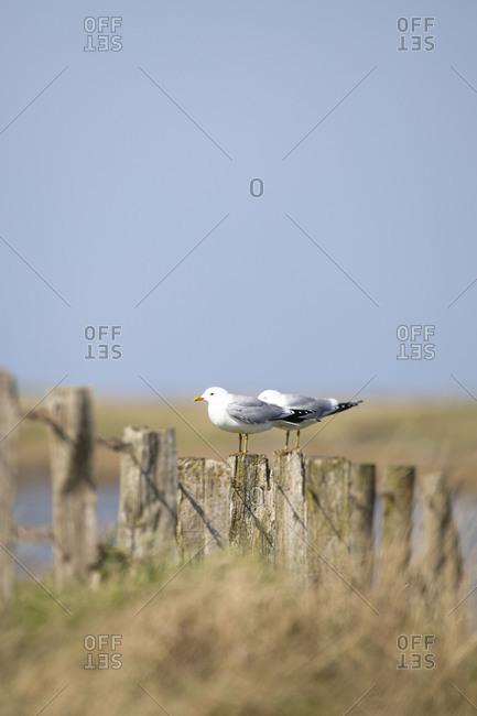 Germany, Schleswig-Holstein, Hallig Hooge, two seagulls on fence
